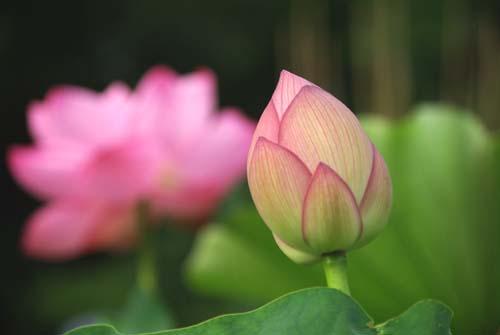 55 7月蓮の花